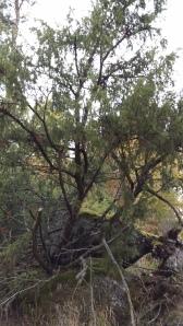 kataja-juniperus-communis-ssp-communis3