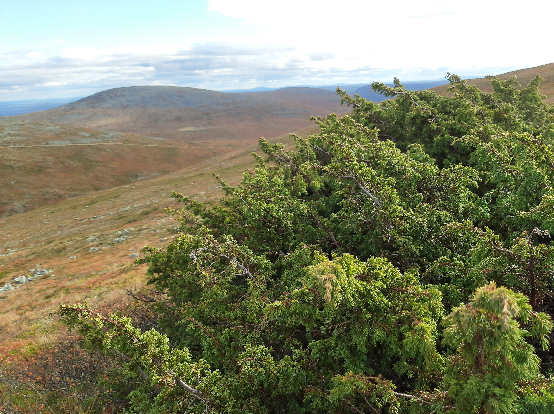 kataja-juniperus-communis3