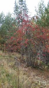 kotipihlaja-sorbus-aucuparia-ssp-aucuparia4