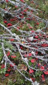 kotipihlaja-sorbus-aucuparia-ssp-aucuparia5