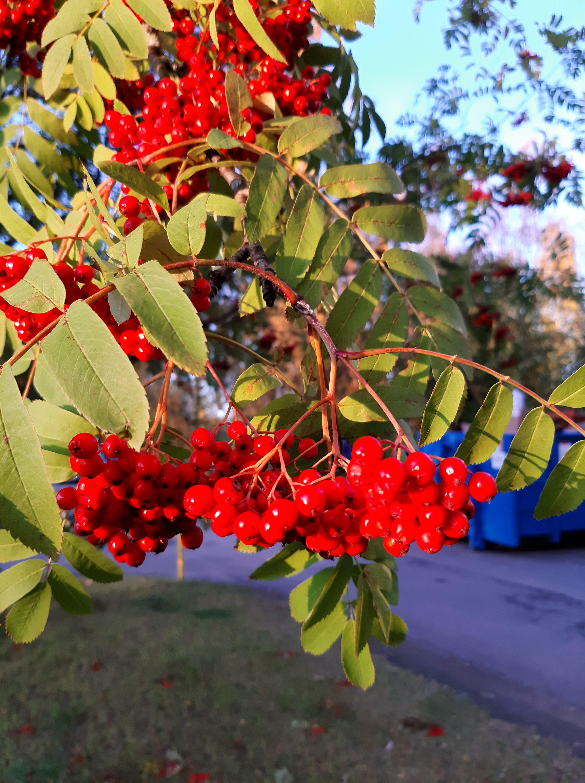kotipihlaja-sorbus aucuparia ssp. aucuparia7