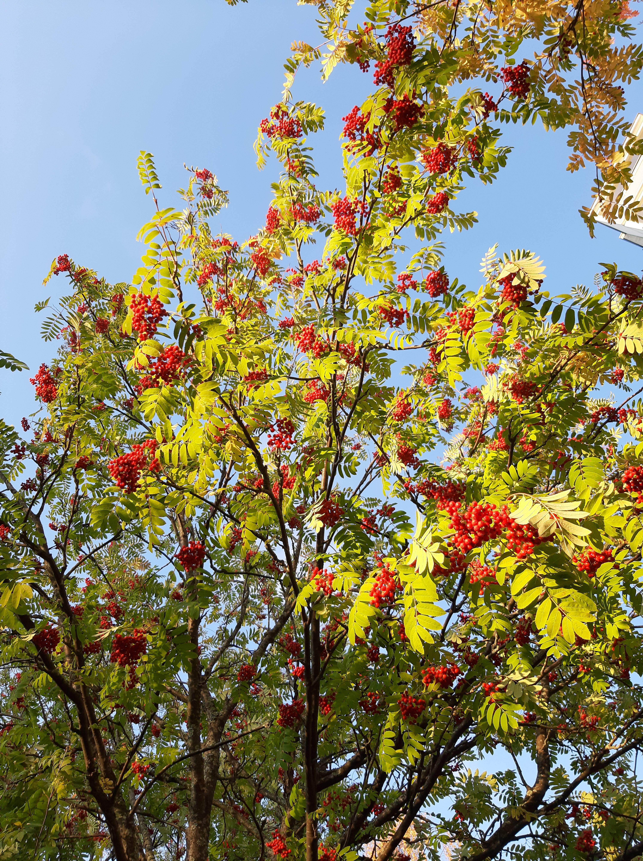 kotipihlaja-sorbus aucuparia ssp. aucuparia8