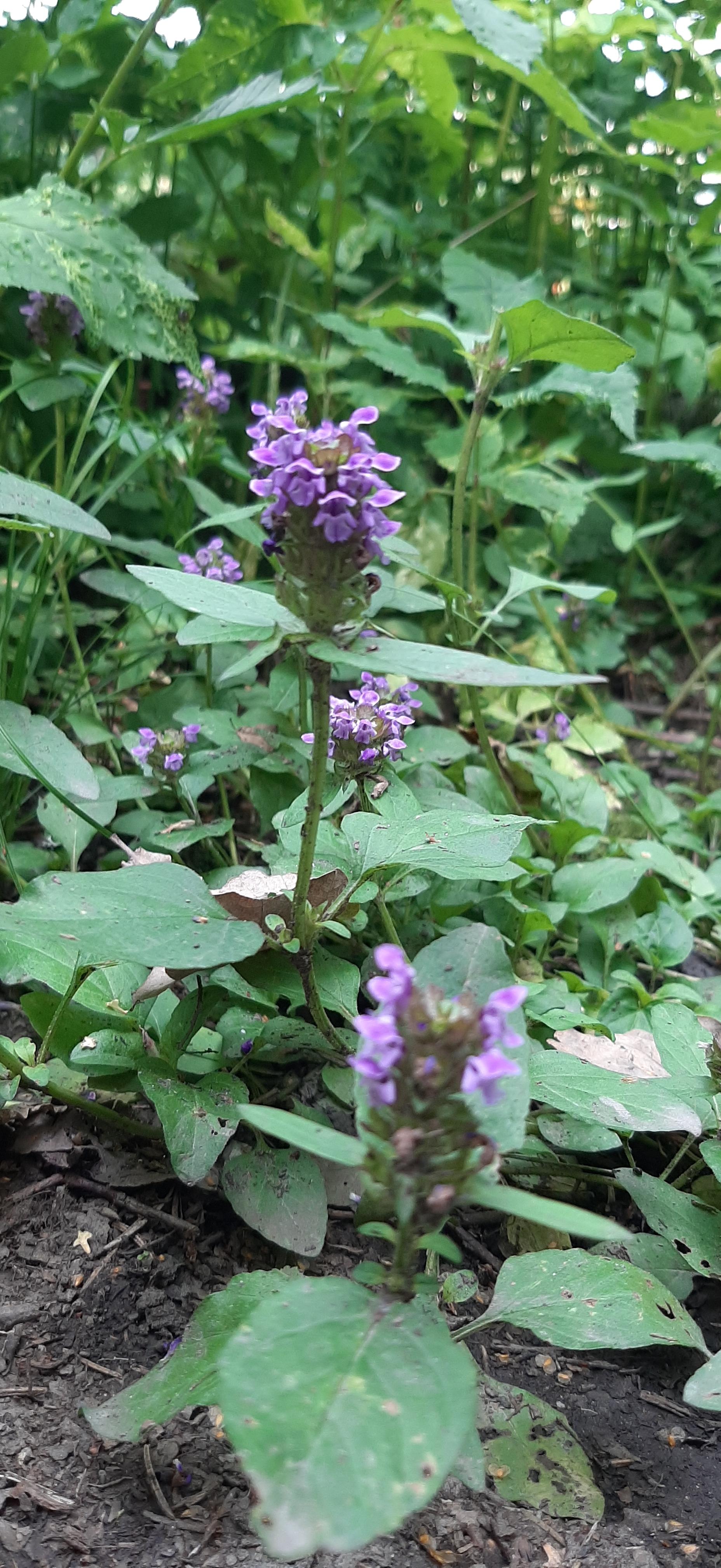 niittyhumala-prunella-vulgaris3