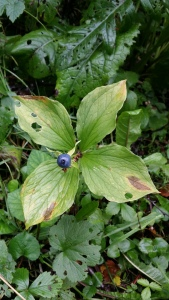 sudenmarja-paris-quadrifolia3