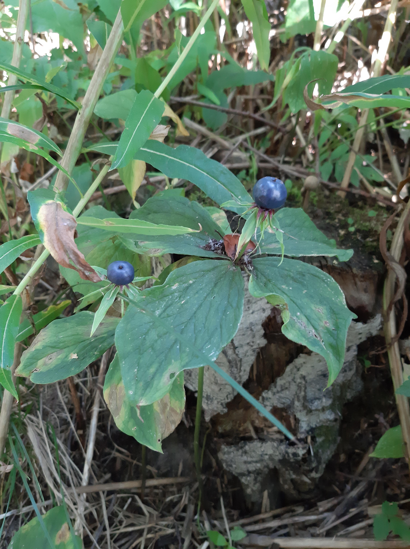 sudenmarja-paris-quadrifolia5