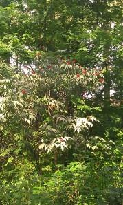 euroopanterttuselja-sambucus-racemosa-var-racemosa4
