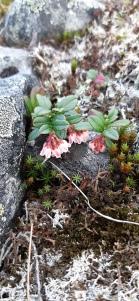puolukka-vaccinium-vitis-idaea-ssp-vitis-idaea