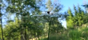 luhtasuoputki-peucedanum-palustre4