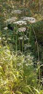 luhtasuoputki-peucedanum-palustre5