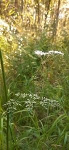 luhtasuoputki-peucedanum-palustre6
