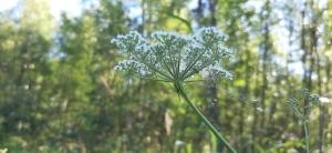 luhtasuoputki-peucedanum-palustre7