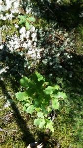 metsätammi-quercus-robur2
