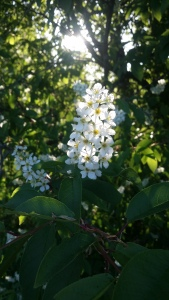 metsätuomi-prunus-padus-ssp-padus3