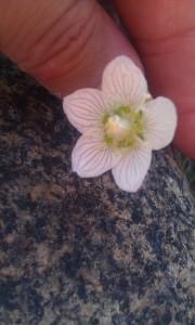 vilukko, parnassia palustris
