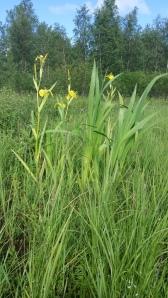 keltakurjenmiekka-iris-pseudacorus3