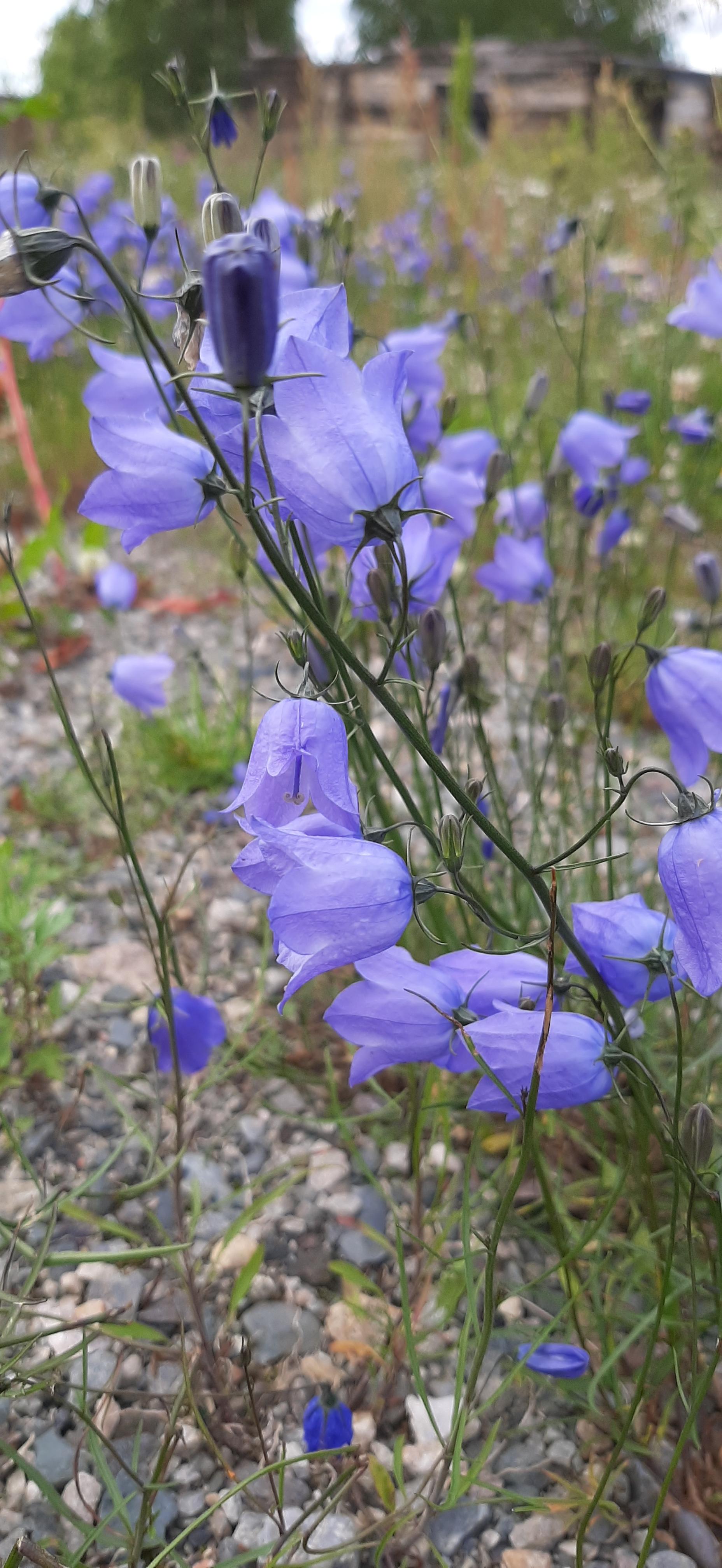 kissankello-campanula-rotundifolia6