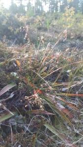 kevätpiippo-luzula-pilosa4