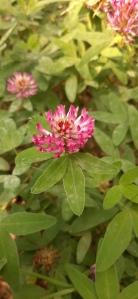 metsäapila-trifolium-medium3