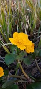 rantarentukka-caltha-palustris-ssp-palustris3