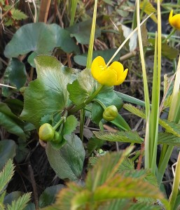 rantarentukka-caltha-palustris-ssp-palustris5