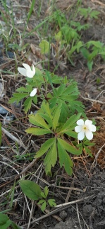 valkovuokko-anemone-nemoros4
