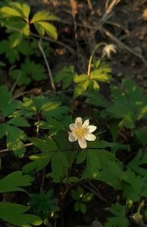 valkovuokko-anemone-nemorosa3