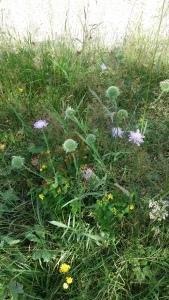 ruusuruoho-knautia-arvensis3