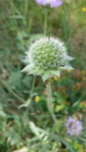ruusuruoho-knautia-arvensis5