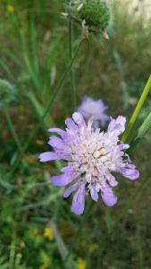 ruusuruoho-knautia-arvensis6