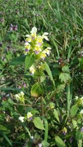 kirjopillike-galeopsis-speciosa2