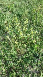 kirjopillike-galeopsis-speciosa3