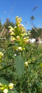 kirjopillike-galeopsis-speciosa6