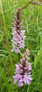 korpimaariankämmekkä-dactyloriza-maculata-maculata10