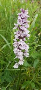 korpimaariankämmekkä-dactyloriza-maculata-maculata8
