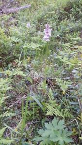 korpimaariankämmekkä-dactylorhiza-maculata-ssp-maculata2