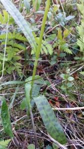 korpimaariankämmekkä-dactylorhiza-maculata-ssp-maculata3