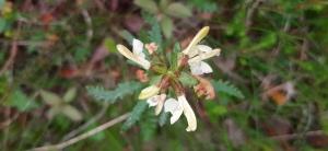 lapinkuusio-pedicularis-lapponica6