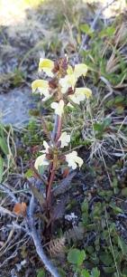 lapinkuusio-pedicularis-lapponica7