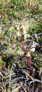 lapinkuusio-pedicularis-lapponica8