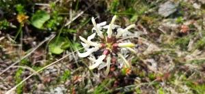 lapinkuusio-pedicularis-lapponica9