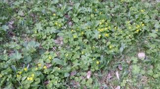 lapinorvokki-viola-biflora4