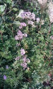rohtovirmajuuri-valeriana-officinalis