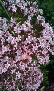 rohtovirmajuuri-valeriana-officinalis3