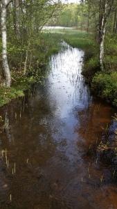 järvikorte-equisetae-fluviatile4