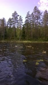 järvisätkin-ranunculus-peltatus-ssp-peltatus2