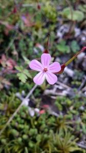 haisukurjenpolvi-geranium-robertianum