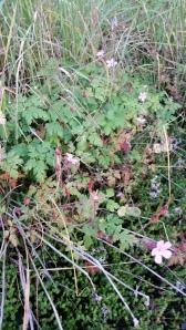 haisukurjenpolvi-geranium-robertianum2