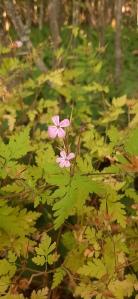 haisukurjenpolvi-geranium-robertianum4