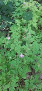 haisukurjenpolvi-geranium-robertianum5