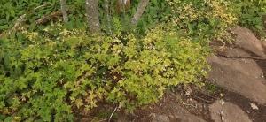 haisukurjenpolvi-geranium-robertianum6